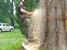 010 treeability-giant-redwood-10