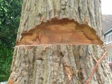 011 treeability-giant-redwood-11