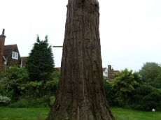 002 treeability-giant-redwood