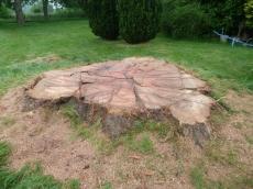 treeability-giant-redwood-25