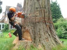 07 treeability-giant-redwood-7