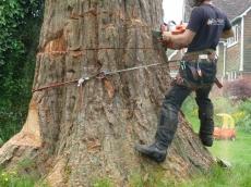 08 treeability-giant-redwood-8