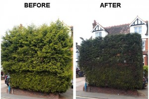 TreeAbility Hedge